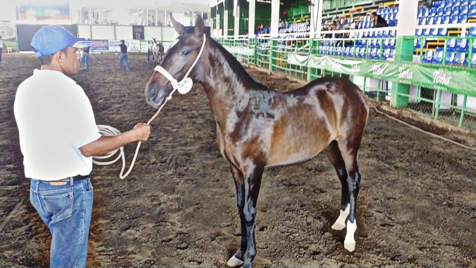 Crianza de caballos enNicaragua