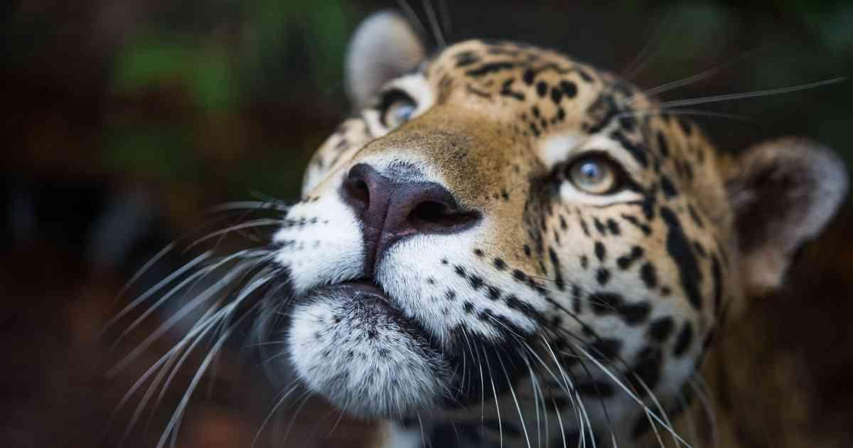 Máxima protección para el emblemático jaguar más allá de lasfronteras