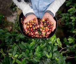OPINIÓN: Épocas de siembra y ciclo agrícola  de los cultivos tradicionales enNicaragua