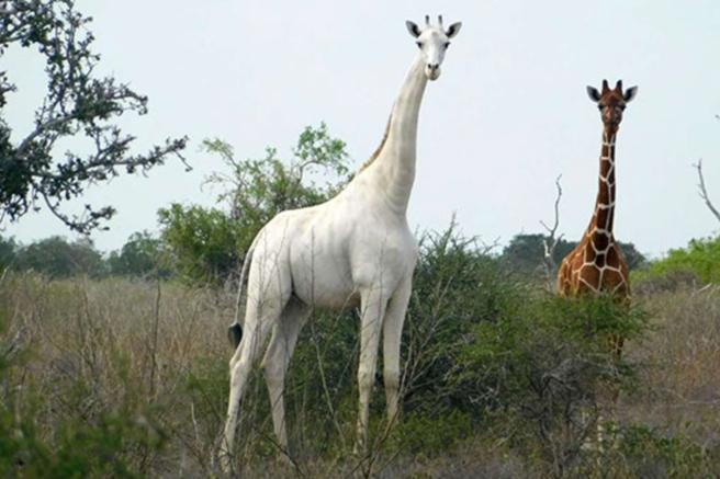 Cazadores mantan a la única jirafa blanca y a su cría enKenia