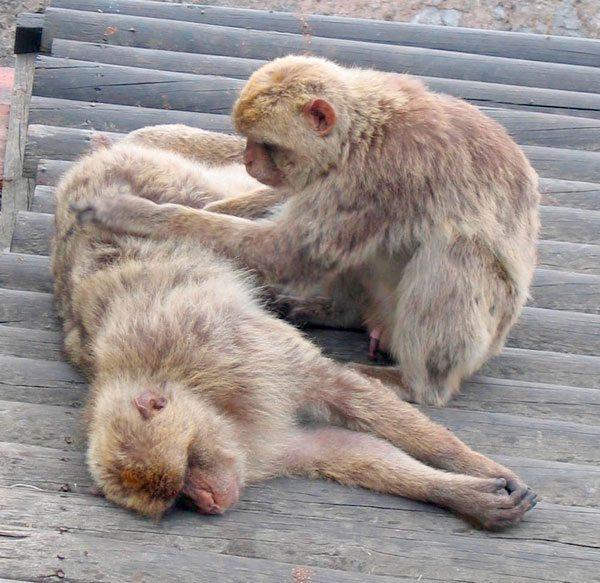Cientos de monos mueren en Estados Unidos para encontrar vacuna contraCORONAVIRUS